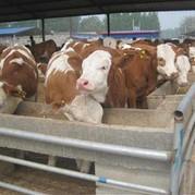 山东晟源牧业 批发 肉牛 小牛犊  大型专业肉牛养殖场欢迎惠顾 专业养殖肉牛 西门塔尔牛 鲁西黄牛 价格低