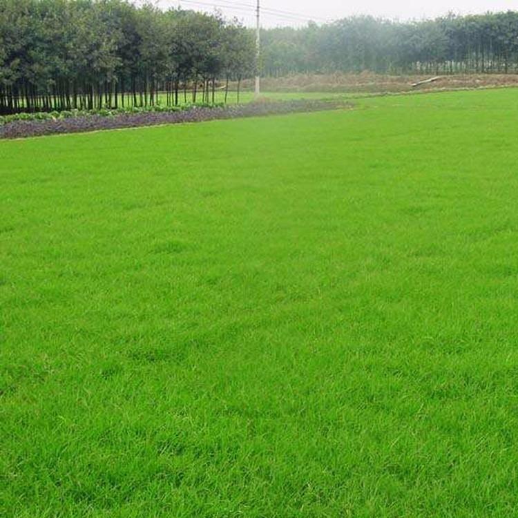進口矮草坪種子  批發結縷草  草坪種子出售 永騰園林