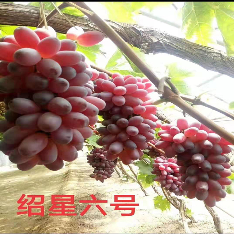 绍兴六号葡萄苗 甜蜜蓝宝石葡萄苗 浪漫红颜葡萄苗 维多利亚葡萄苗  茂源园艺