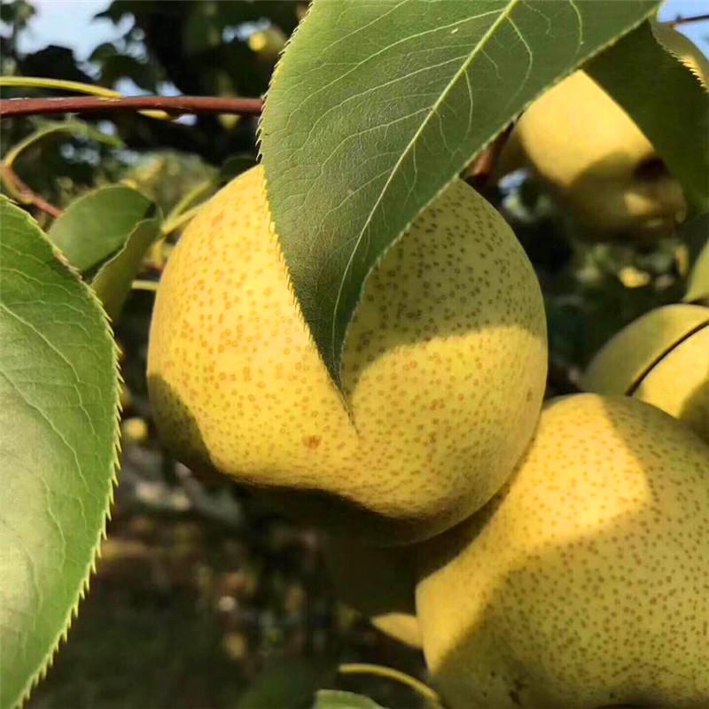 5公分梨树苗购买基地、5公分梨树苗基地价格、5公分梨树苗基地供应