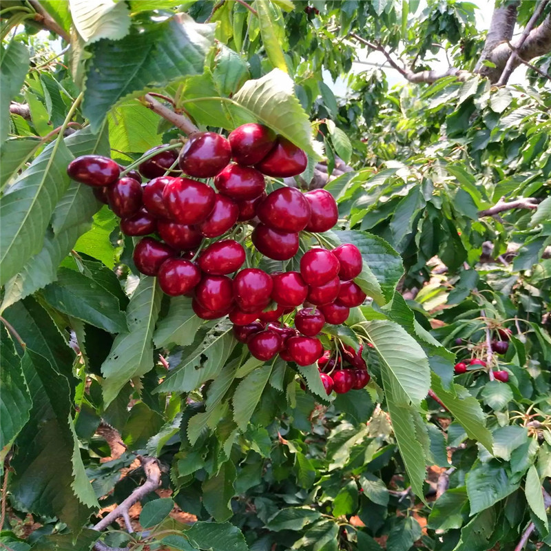 矮化7公分樱桃苗基地、马哈利樱桃苗批发、8公分樱桃苗批发出售