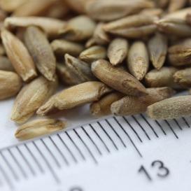 冬牧70黑麦草种子批发   牧草种子价格  一斤起发货