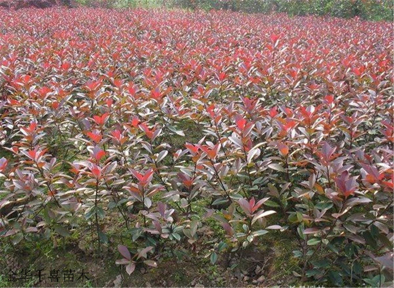 千喜苗木批发大量红叶石楠大杯苗 火焰红红叶石楠小杯苗示例图3