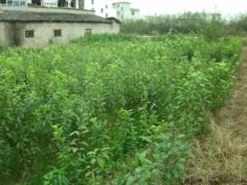 李子种子优质种子  长景园林   批发零售
